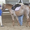 Appaloosa in arena at show with attendants.