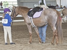 Appaloosa horse and girl at horse show.