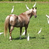 Appaloosa horse in summer pasture surrounded by snowy egrets.