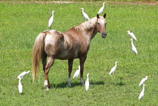 Appaloosa horse in pasture with friendly egrets.