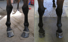 Before and after of deformed horse legs assisted by proper shoeing