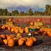A field of pumpkins ready for Halloween.