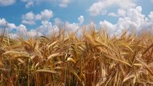 Field of ripe triticale to be used as grain for horses.
