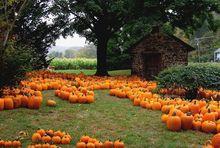 Scenic field of orange pumpkins.