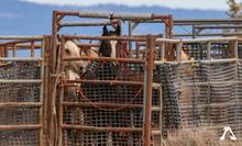 Devil's Garden wild horses in BLM pen.