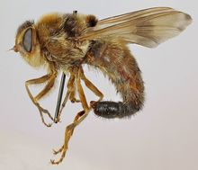 A horse bot fly.