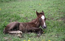 Young foal resting in pasture.