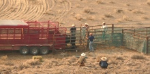 Wild horses being loaded into stock trailer.