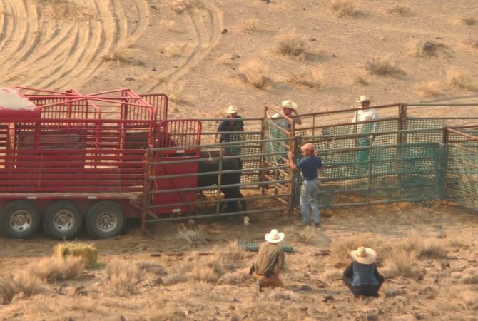Wild horses being loaded into stock trailers,
