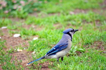 Blue jay in a horse pasture.