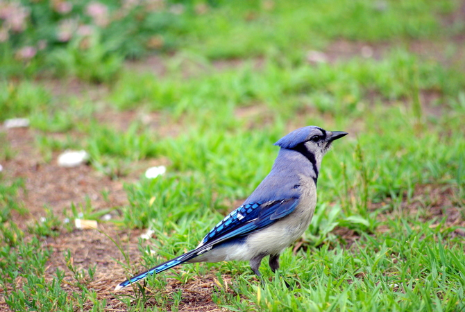 Blue jay keeping lookout in horse pasture.