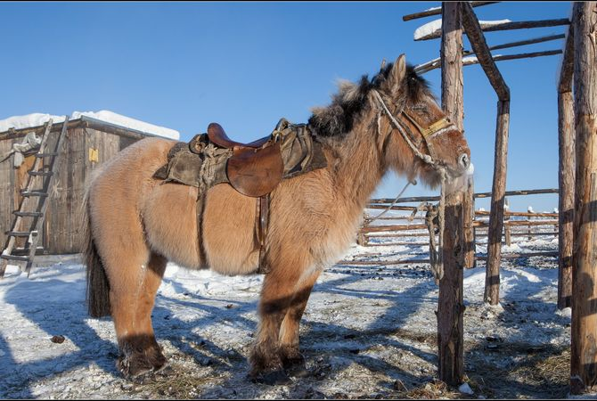 Horse in winter pasture with a shaggy coat.