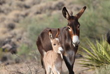 Donkey with foal in desert setting.