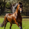 Morgan horse groomed with Absorbine Showsheen.