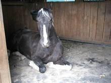 Horse resting on orthopaedic foam ComfortStall flooring.