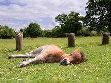 Young foal taking a nap in a spring pasture.