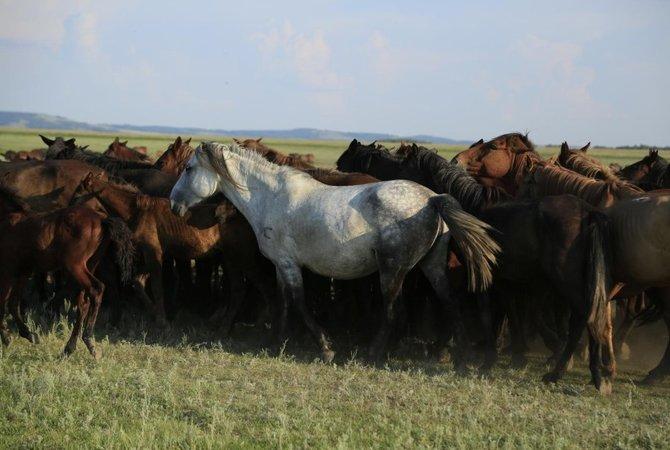 A herd of Kazakh horses in the Pavlodar region of Kazakhstan in August 2016.