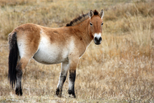 Przewalski's horse - Another ancient horse.