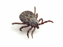 Deer tick - Source of Lyme disease.