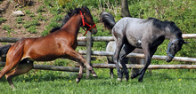 Two frisky horses showing range of motion in their necks.