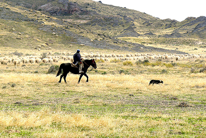 Tending livestock is an excellent activity for conditioning the young horse.