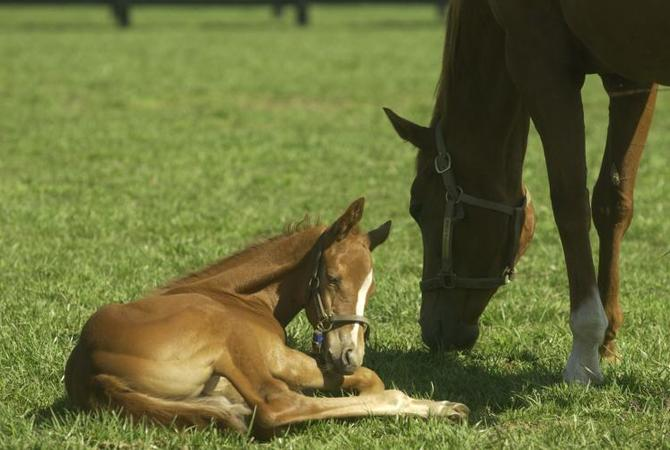 Foal lying next to grazing mare in pasture.
