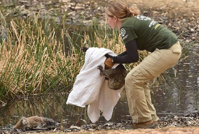 Woman rescuing a burned and injured koala after fire passes through Australia