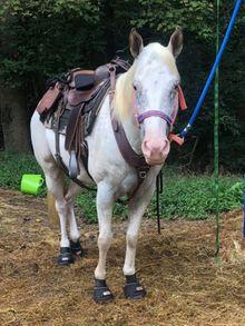 White horse wearing Cavallo hoof boots.