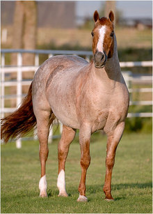 Real-life Peptoboonsmal with his distinctive red roan coat and white blaze.
