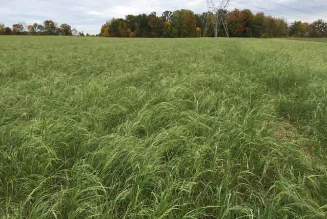 Field of teff grass hay ready for harvest.