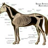 Annotated horse skeleton showing neck bones.