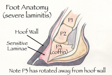 Healthy horse hoof structure