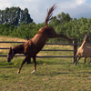 Horses cavorting in pasture which is a source of parasites.