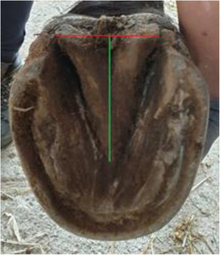 Horse hoof showing frog measurements; the heels of this specimen are not contracted.
