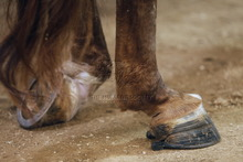Legs and hooves of horse disfigured by chains and chemicals used in soring.