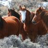 Herd of wild horses in snowy desert setting.