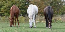 Three horses grazing in pasture - Chestnut, Dabble Gray, Bay.