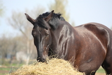 Healthy senior horse with glossy coat eating from feeder.