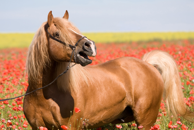 A beautiful palomino horse in a field of flowers.
