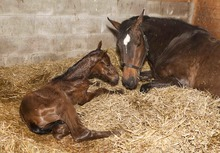 Very young foal in stall with mare.