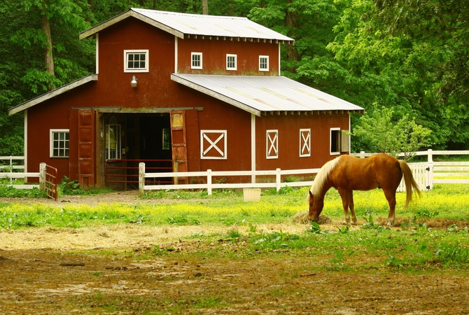 A horse grazing near a red barn with stalls, open doors and windows.