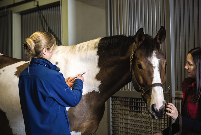 Veterinarian vaccinating horse with help of intern.