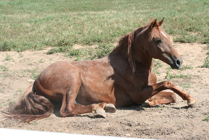 Colicky horse rolling in dirt.