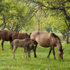 Horses and a foal grazing in pasture.