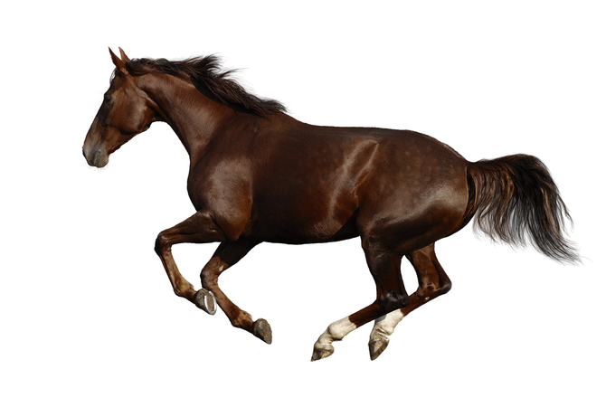 Showing conformation of horse's legs in motion.