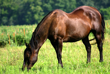 Horse grazing in a lush pasture.