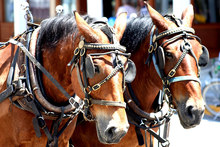 A working draft horse team in harness.