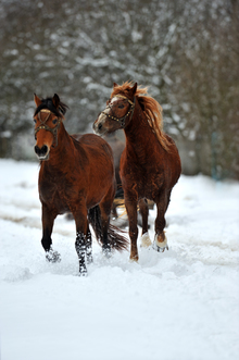 Horses pulling a sleigh through snow.