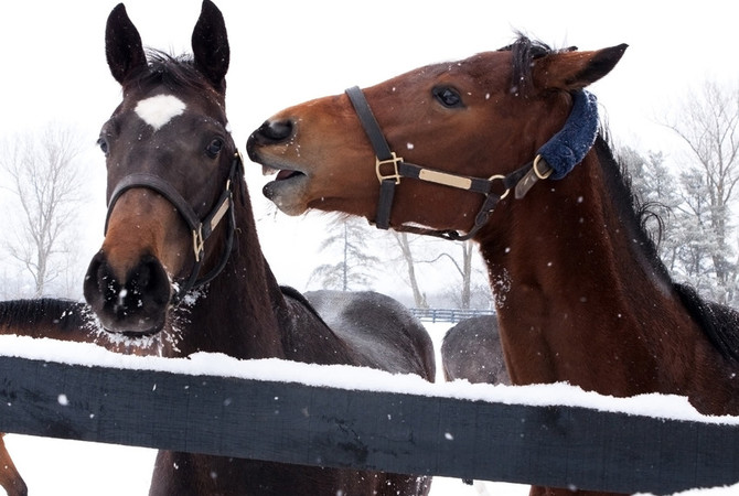 Two horses communicating using vocal, facial, and body language.