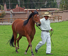 Trainer walking a horse.